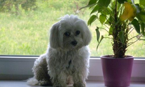 Ő a Tarka-Falka Kutyapanzió ablakában szeret napozni. Igazi szobakutya!